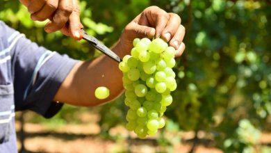 Photo of العنب يساهم في فلسطين بحوالي 12 % من مجمل الإنتاج الزراعي
