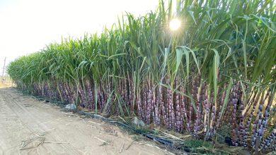 Photo of قصب السكر